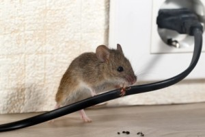 Mice Control, Pest Control in Shepperton, Upper Halliford, TW17. Call Now 020 8166 9746