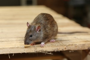 Mice Infestation, Pest Control in Shepperton, Upper Halliford, TW17. Call Now 020 8166 9746